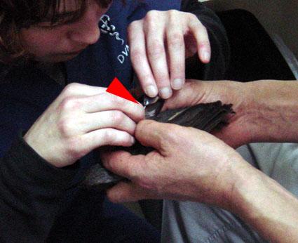折れた羽を接着剤で修復中